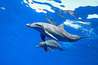 Indo-Pacific bottlenose dolphins, Tursiops aduncus, Chichi-jima, Bonin Islands, Ogasawara Islands, Natural World Heritage Site, Tokyo, Japan, Pacific Ocean