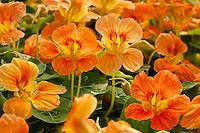 Orange Nasturtium flower Tropaeolum majus 'Alaska Apricot'