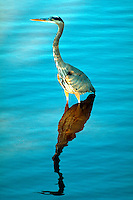 Great Blue Heron standing in water, reflection. Orlando Florida.