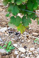 Domaine Haut-Lirou in St Jean de Cuculles. Pic St Loup. Languedoc. Vine leaves. Terroir soil. France. Europe. Soil with stones rocks.