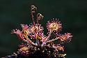 Round-leaved sundew (Drosera rotundifolia). Isle of Mull, Scotland. June.