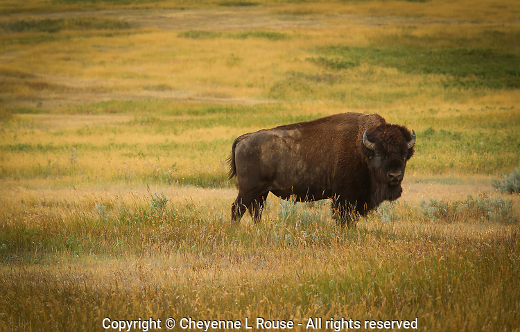 Badlands Beast - Bison - Teddy Roosevelt NP, North Dakota