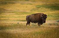 Badlands Beast - Bison - Teddy Roosevelt NP, North Dakota