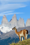 Adult guanaco (Lama guanicoe) with famous 'towers' in the background. Torres del Paine National Park, Patagonia, Chile.