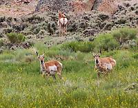 Pronghorn doe herd