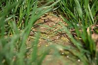 Nitrogen prills in wheat - Lincolnshire, March