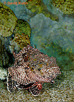 "0109-08uu  Spotted Scorpionfish ""Venomous Spines on Fish"" - Scorpaena plumieri  © David Kuhn/Dwight Kuhn Photography"