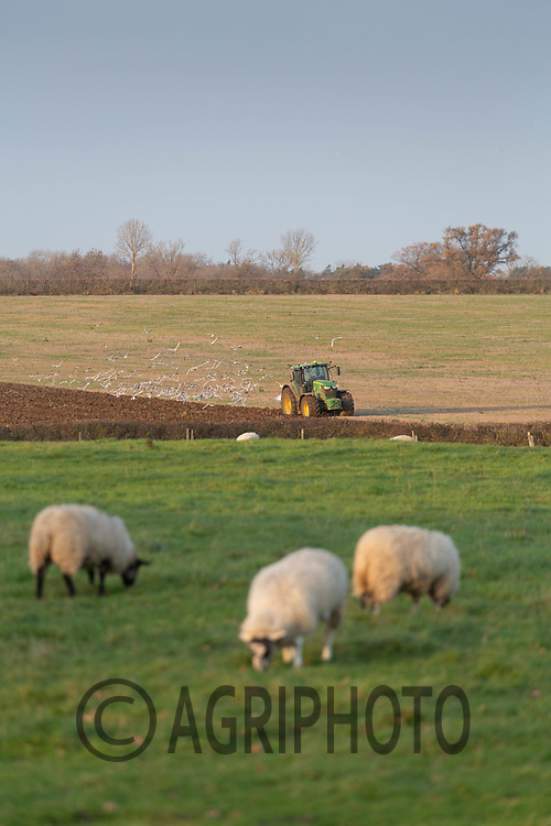 24.11.2020 Ewe lambs grazing <br /> ©Tim Scrivener Photographer 07850 303986<br />      ....Covering Agriculture In The UK....