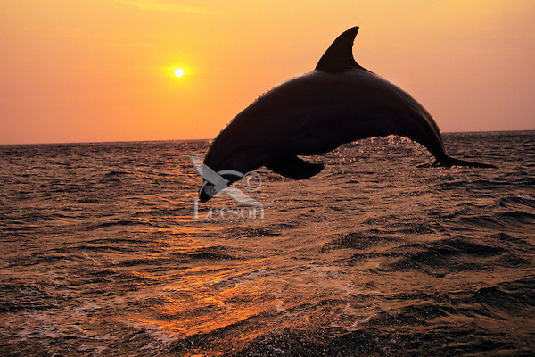 Common Bottlenose Dolphin or Bottle-nosed dolphin (Tursiops truncatus) in the Pacific Ocean off the coast of Central America.