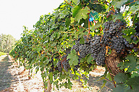 Bunches of ripe grapes. Merlot. Castel del Remei, Costers del Segre, Catalonia, Spain.