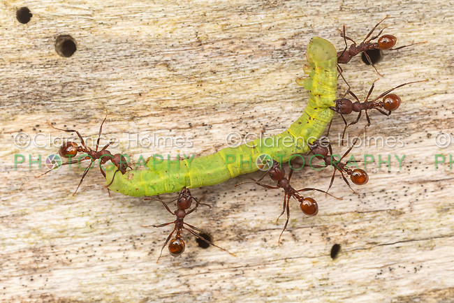 Spine-waisted Ants (Aphaenogaster tennesseensis) work together to carry a caterpillar up the side of a tree to the  nest of their colony.