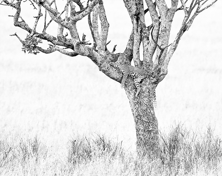 We enjoyed several excellent leopard encounters on this trip, including this male resting in a tree as we arrived in the Serengeti.
