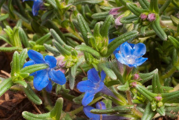 Lithodora diffusa Grace Ward in blue flowers, closeup macro plant portrait