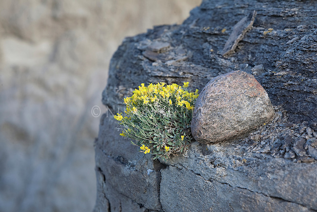 Yellow flowers growing on rocks in eastern Montana