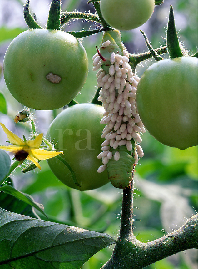 Green tomatoes with Tomato Hornworm, parasitic wasp host, and yellow flower#5602. Virginia.