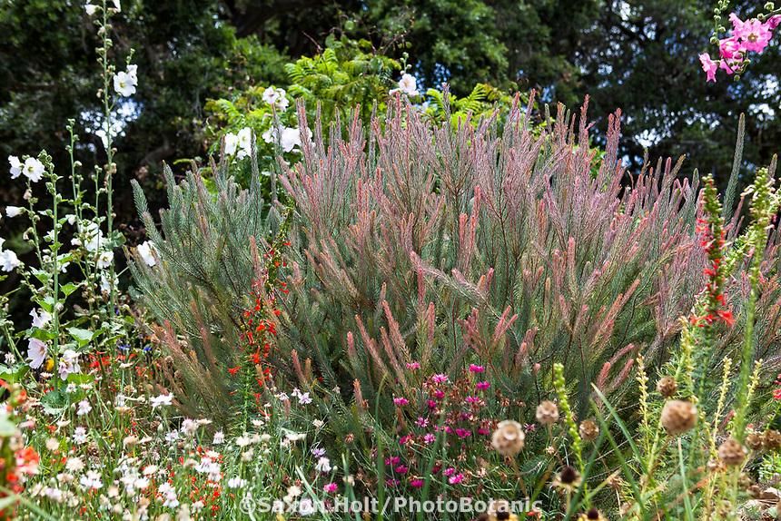 Calothamnus quadrifidus - One-sided Bottlebrush Australian shrub flowering in Southern California garden
