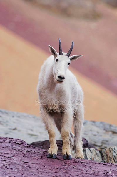 Mountain Goat,Oreamnos americanus,adult with summer coat, Glacier National Park, Montana, USA