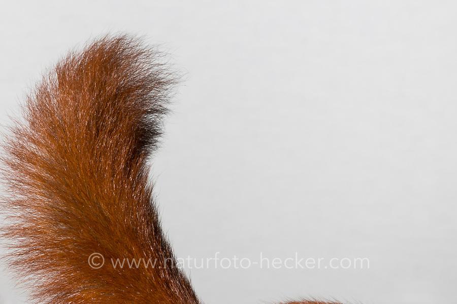 Europäisches Eichhörnchen, Eurasisches Eichhörnchen, Eichhörnchen, Schwanz, Sciurus vulgaris, European red squirrel, red squirrel, L'écureuil d'Eurasie, écureuil roux