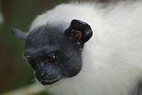 """Com o crescimento desordenado da cidade de Manaus nos últimos anos a floresta vem sendo derrubada de maneira descontrolada. Isso tem afetado gravemente as populações do sauim-de-coleira, único representante da família Callitrichidae (que compreende micos, sagüis e sauins) encontrado nos fragmentos florestais urbanos da cidade.Além de ser ameaçado pelo homem, o sauim-de-coleira também sofre ameaças do sauim-de-mãos-douradas (Saguinus midas), um outro calitriquídeo presente nas áreas de entorno da cidade de Manaus. Nesta possível relação de exclusão competitiva, S. bicolor estaria perdendo áreas de florestas para S. midas e sendo """"empurrado"""" gradualmente em direção às florestas secundárias da área urbana de Manaus. Por causa da competição entre as duas espécies, o sauim-de-coleira está cada vez mais confinado à cidade, aumentando assim a responsabilidade dos habitantes da cidade quanto à sobrevivência da espécie (GORDO, 2008).Manaus, Amazonas, Brasil.Foto Marcelo Gordo07/09/2010"""