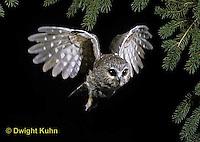 OW07-079z  Saw-whet owl - flying - Aegolius acadicus