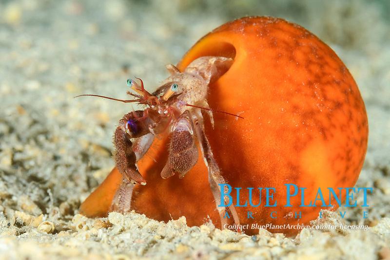 eye spot hermit crab, Paguristes eremita, with sponge, Dalmatia, Croatia, Adriatic Sea, Mediterranean Sea, Atlantic Ocean