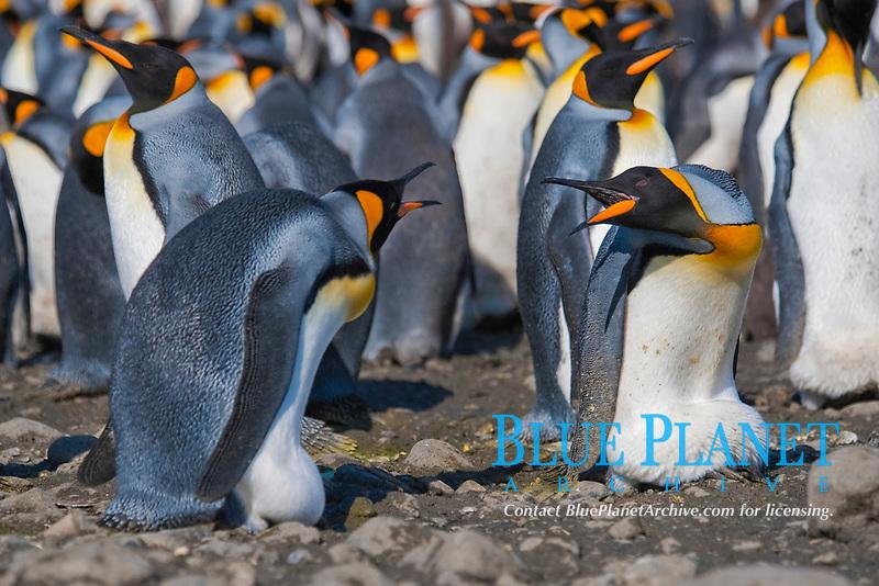 King Penguins, Aptenodytes patagonicus, squabbling, (both birds are incubating eggs on their feet), Salisbury Plain, South Georgia, South Atlantic Ocean