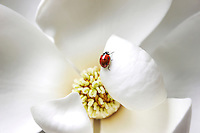 Ladybug on a white magnolia flower.