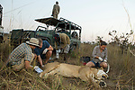 African Lion (Panthera leo) biologists, Jonah Gula, Milan Vinks, Caz Sanguinetti, and veterinarian, Kambwiri Banda, collaring six year old female lion while park scout, Charles Kalatambala, keeps watch for remaining pride members, Kafue National Park, Zambia