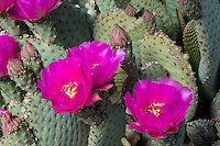 Beavertail Cactus (Opuntia basilaris).  Mojave Desert, California.  March.