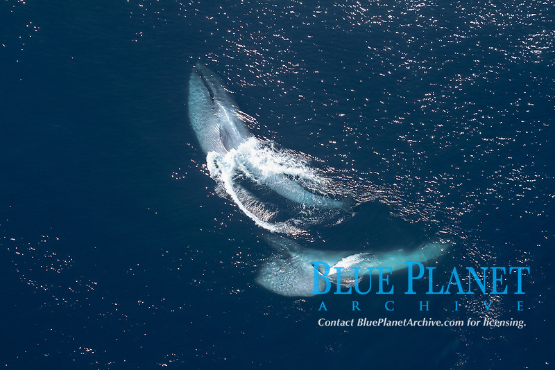 blue whale, Balaenoptera musculus, feeding on krills, endangered species, Channel Islands National Marine Sanctuary, California, USA, Pacific Ocean