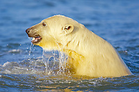 polar bear cub, Ursus maritimus, playing, Arctic National Wildlife Refuge, Alaska, Arctic Ocean, polar bear, Ursus maritimus