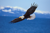 Bald Eagle (Haliaeetus leucocephalus) flying over Kachemak Bay, Alaska.  March.