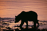 Grizzly or brown bear, Alaska