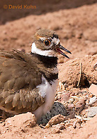 0510-1129  Killdeer, Adult Sitting on Eggs, Charadrius vociferus  © David Kuhn/Dwight Kuhn Photography