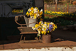 McLaughlin's Daffodil Hill in bloom, Volcano, Calif.<br /> <br /> Two cans of daffodil flowers on the back of a truck