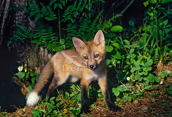 Red fox pup (Vulpes vulpes) checking out the world near its den.  Western U.S., June.