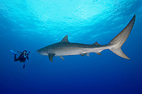 tiger shark, Galeocerdo cuvier, a large female shark, going face-to-face with underwater videographer, West End, Bahamas, Atlantic Ocean