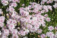 Pink Hawksbeard Crepis rubra