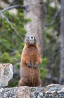 Yellow-bellied marmots emerge in spring.