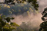 Early morning mist over the canopy. Lowland rainforest. Danum Valley, Sabah, Borneo.