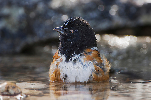 Spotted Towhee, Pipilo maculatus, male bathing, Uvalde County, Hill Country, Texas, USA, April 2006
