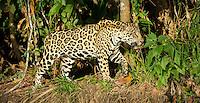 Jaguar (Panthera onça) prowls the river bank, headed into deep cover, The Pantanal, Brazil.
