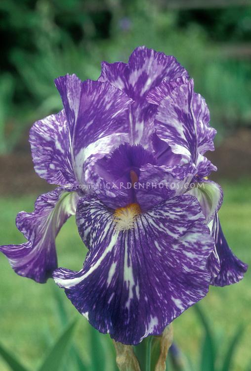 Iris Blueberry Filly intermediate bearded iris flower with streaks of broken color blue purple and white, hybridizer Kasperek