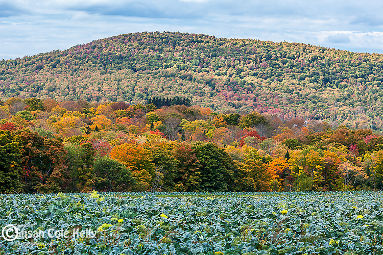 Fall foliage and broccoli fields in Presque Isle, Maine, USA