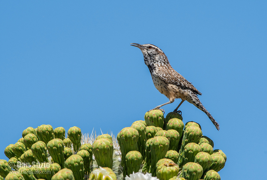 Cactus Wren, Campylorhynchus brunneicapillus, perches on a Saguaro cactus, Carnegiea gigantea, in Saguaro National Park, Arizona