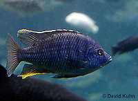 0219-08mm  Electric Blue Haplochromis Cichlid, Sciaenochromis ahli © David Kuhn/Dwight Kuhn Photography