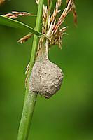 Braune Feenlämpchen-Spinne, Feenlämpchenspinne, Eikokon, Feenlämpchen an einem Halm, Agroeca brunnea, Felampespinder, Felampe-spinder