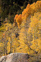 """A fine art nature image of golden aspen found in the Sonora Pass of the California Sierra Nevada mountains, with a granite boulder in the foreground and green pines in the upper left background. This image pairs well with """"Aspen Trunks along Sonora Pass."""""""
