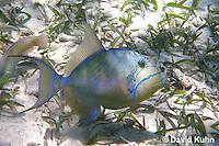 0705-1102  Queen Triggerfish, Caribbean Ocean, Balistes vetula  © David Kuhn/Dwight Kuhn Photography