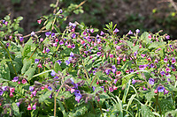 Echtes Lungenkraut, Kleingeflecktes Lungenkraut, Geflecktes Lungenkraut, Lungenkraut, Pulmonaria officinalis, Lungwort, common lungwort, Mary's tears, Our Lady's milk drops, Soldiers-and-Sailors, Spotted Dog, La Pulmonaire officinale